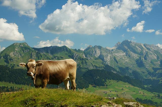 Cow, View, Säntis, Mountain Hiking, Nature, Vision