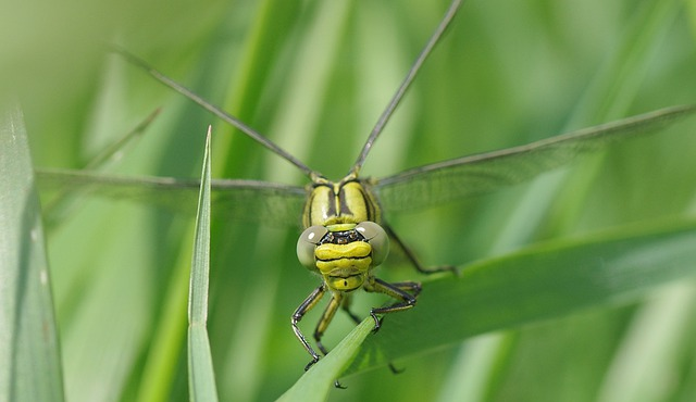 Insect, Dragonfly, Vulgatissimus, Yellow Dragonfly