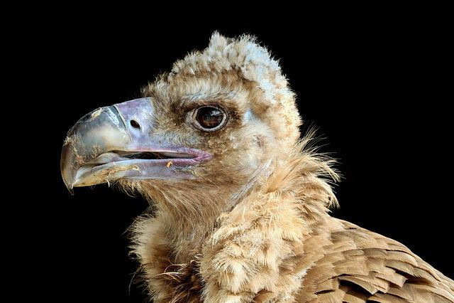 Black Vulture, Cowl Vulture, Vulture, Young, Bird