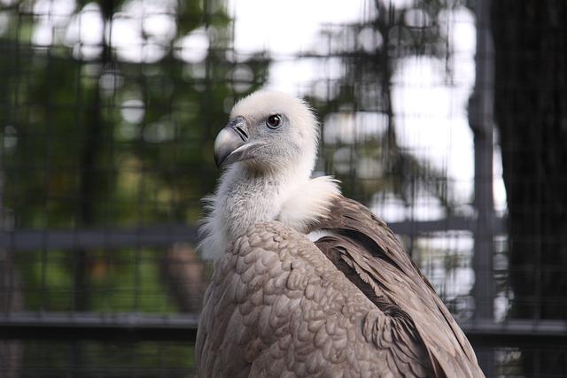 Griffon Vulture, Vulture, Bird, Scavengers