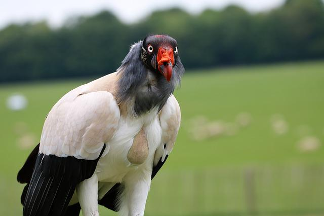 King Vulture, Vulture, Raptor, Bird, Wildlife