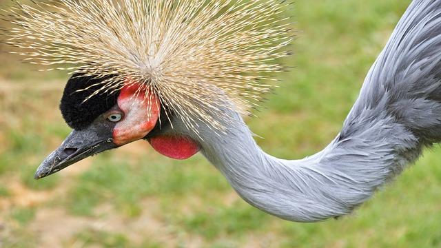 Crane Royal, Head, Neck, Wader, Bird, Animal, Crane