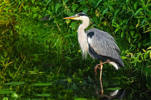 Heron, Waterbird, Bird, Wading Bird, Bird Of Prey