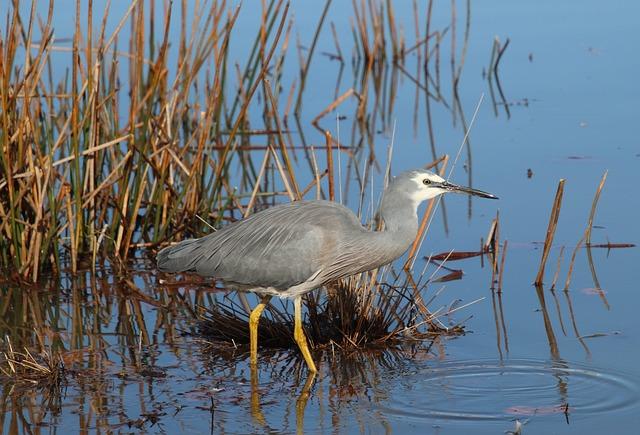 Bird, Grey Heron, Wading, Fishing, Lake, Reeds