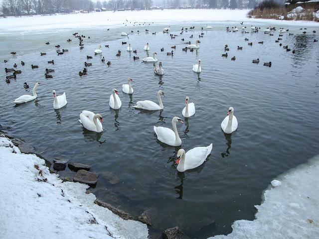 Swans, Ducks, Pond, Lake, Winter, Waldviertel