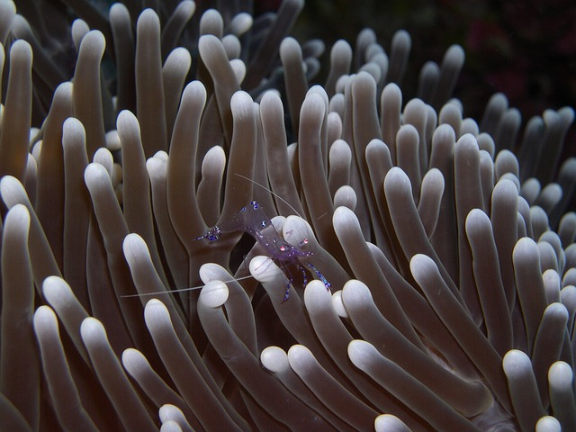 Anemone, Immersion, Sulawesi, Walea
