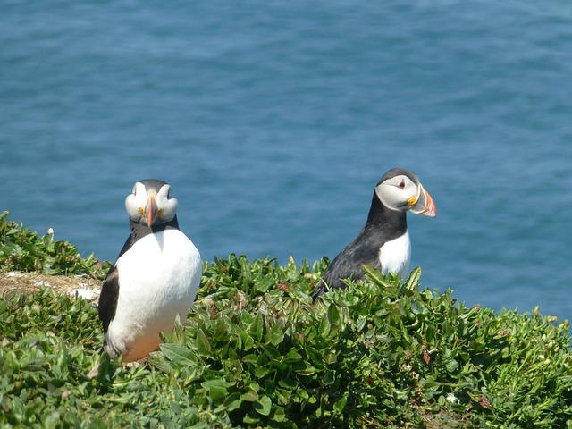 Bird, Puffin, Nature, Wildlife, Pembrokeshire, Wales