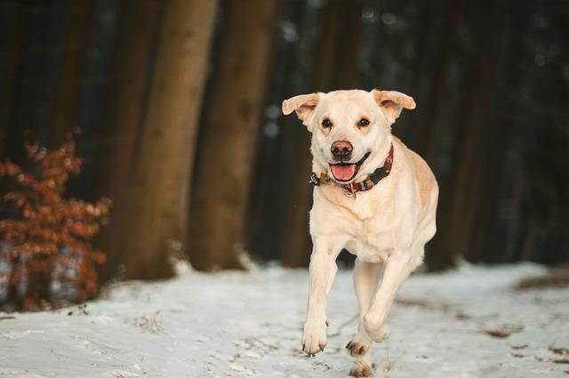 Dog, Labrador, Animal, Walk, Run, Outdoors, Winter