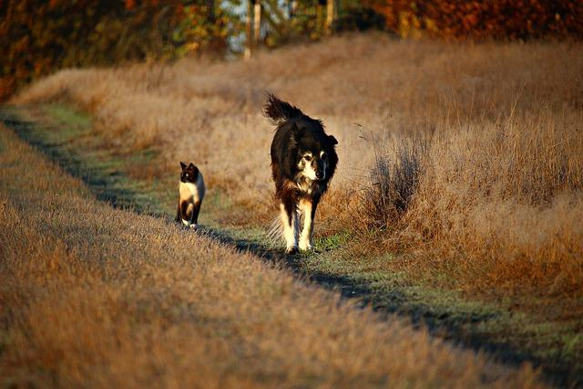Dog, Cat, Away, Walk, Border Collie, Border