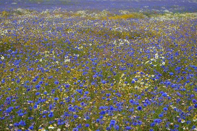 Cornflowers, Kornblumenfeld, Summer, Walk, Nature