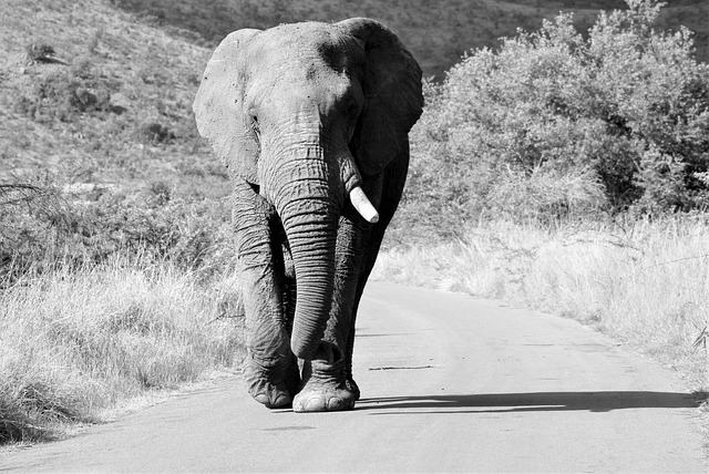 African Elephant, Bull, Walking, Road, Thick Skin