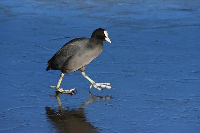 Coot, Water Bird, Animal, Walking, Ice, Winter, Frozen