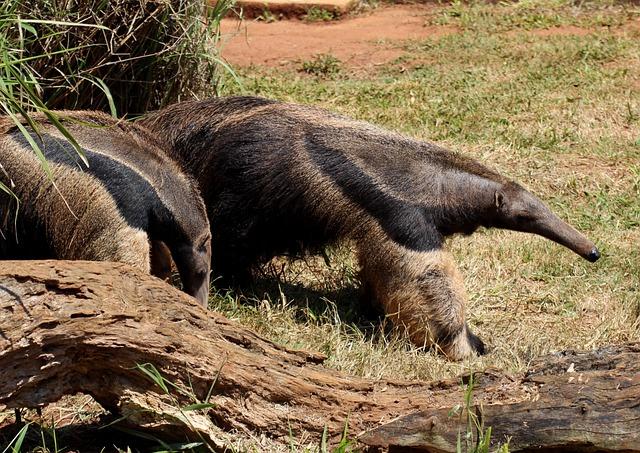 Flag Anteater, Animal, Wild, Brazilian, Walking