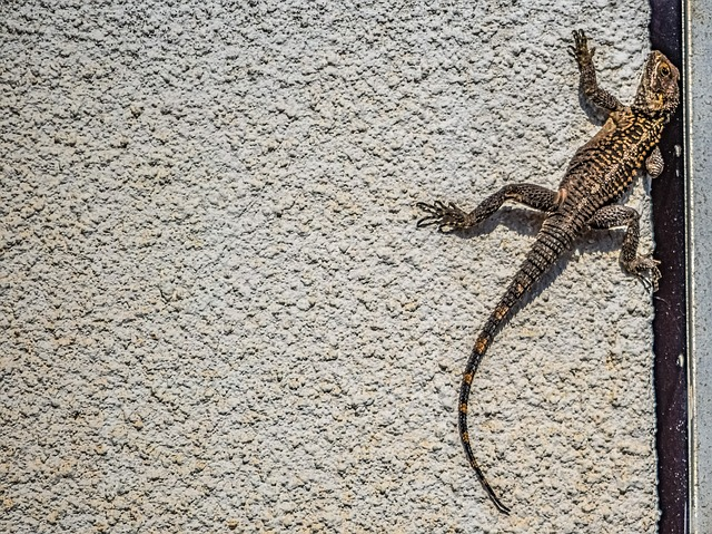 Lizard, Reptile, Wall, Adaptation, Kurkutas, Animal