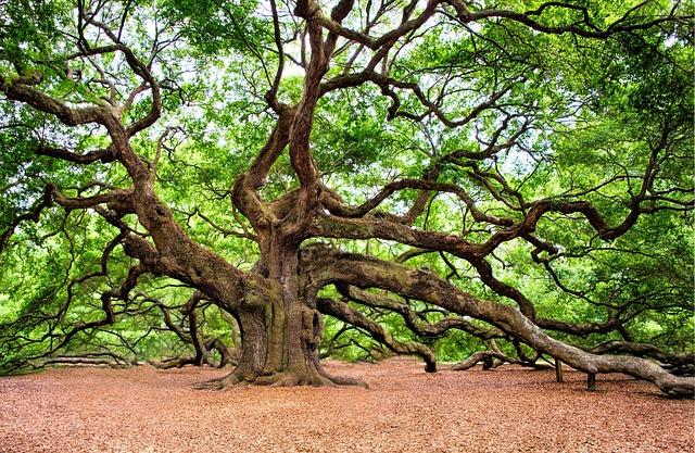 Angel Oak, Charleston, Wall Art, Tree
