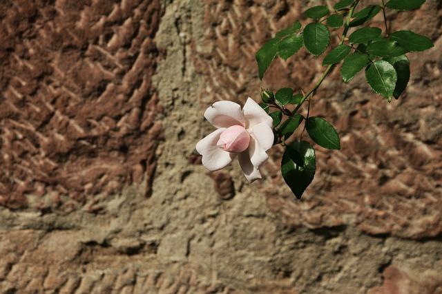 Rose, Pink, Wall, Individually, Pink Rose, Romantic