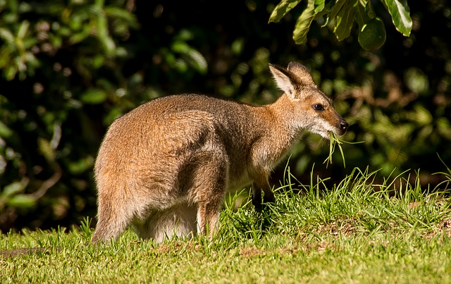 Wallaby, Rednecked Wallaby, Female, Eating, Australia