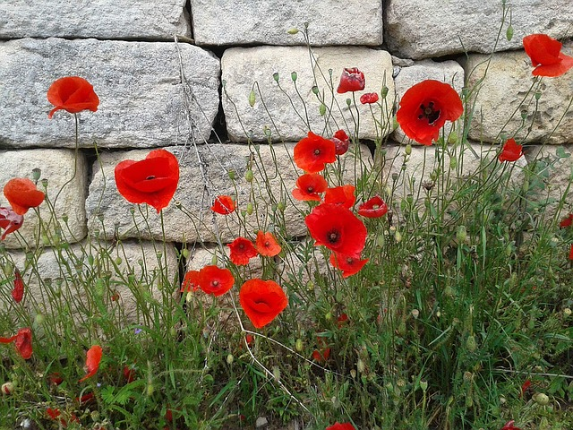 Poppy, Wallflower, Red