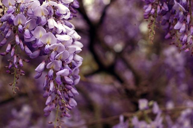 Wisteria, Bloom, Garden, Desktop, Wallpaper, Background
