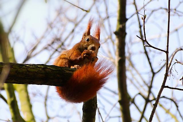 The Squirrel, Walnut, Branch, Food, Eating, Kita