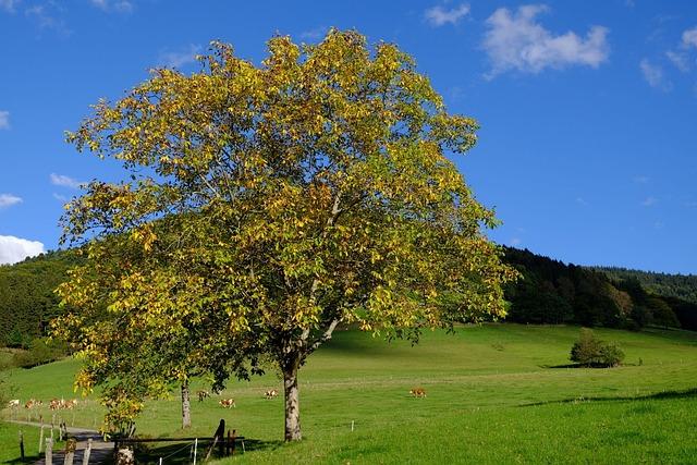 Walnut, Fall Color, Nature, October