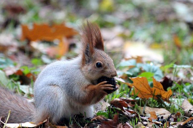 Red Squirrel, Nibbles, Squirrel, Walnut, Animal, Nature