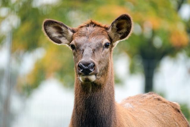 Wapiti, Head, Animal, Elk, Female Elk, Female Wapiti