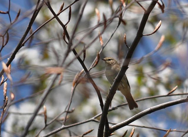 Chiffchaff, Phylloscopus Collybita, Warbler