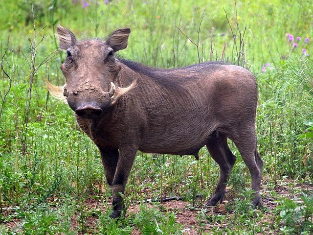 Warhtog, Wild Pig, Farm Life, Countryside