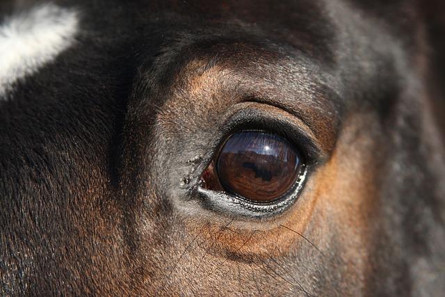 Warmblood Mare, Warmblut, Mare, Horse, Horse Head
