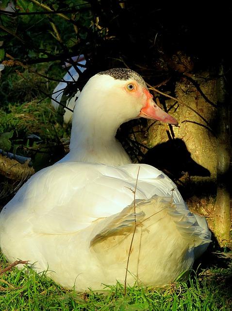 Duck, Flying Duck, Wart Duck, White, Plumage, Poultry