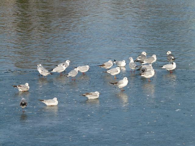 Gulls, Birds, Waser, Animals, Pushed Together, Swim