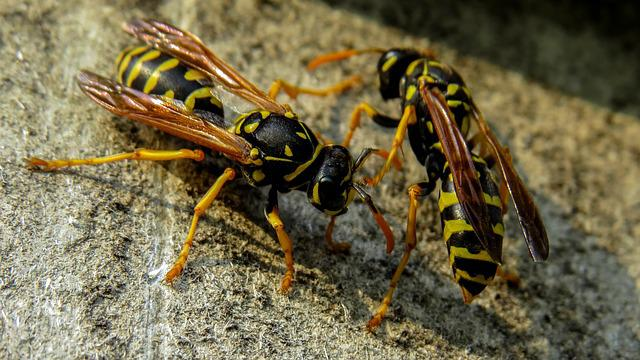 Wasp, Macro, Nature, Insects, Insect, French Wasps