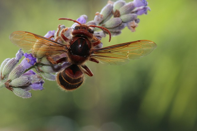 Hornet, Wasp, Insect, Close Up, Macro, Nature, Wing