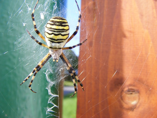 Wasp Spider, Spider, Argiope Bruennichi, Animal