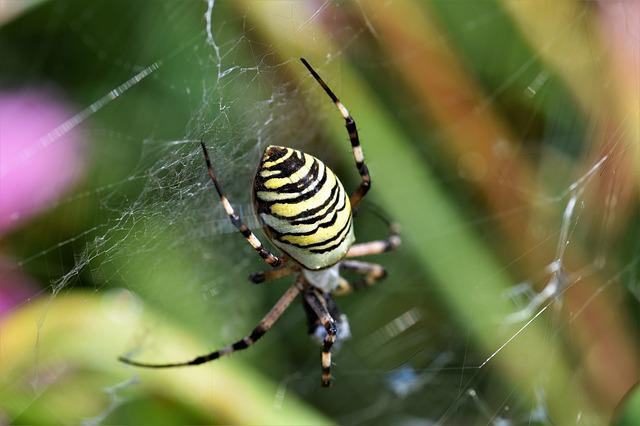 Wasp Spider, Spider, Black, Yellow, Network