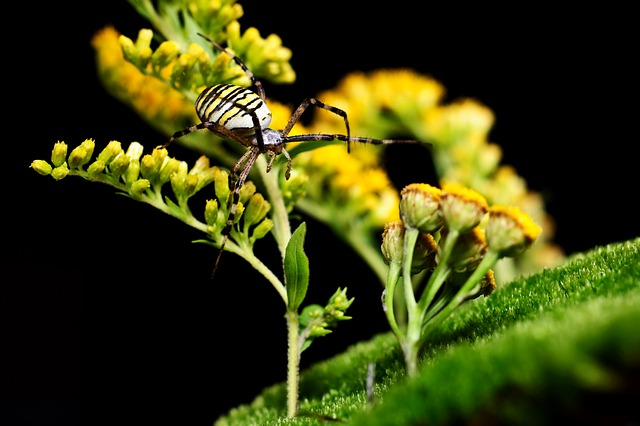 Spider, Wasp Spider, Macro, Nature, Insect, Yellow