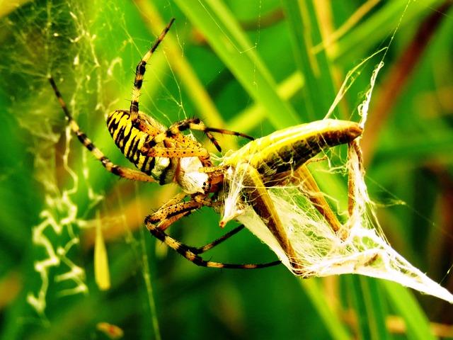 Spider, Tiger Spider, Wasp Spider, Network, Prey, Start