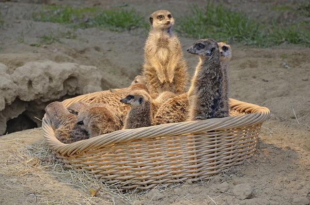Meerkat, Mongoose, Funny, Mammal, Watch, Lively, Cute