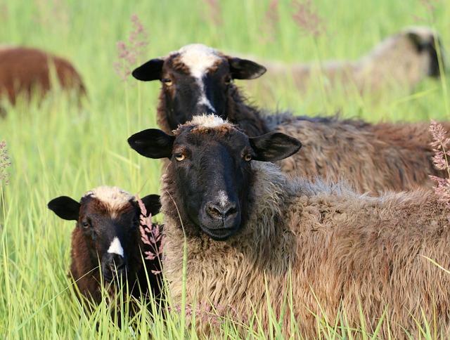 Sheep, Three, Watch, Head, Curiosity, Observer, Herd