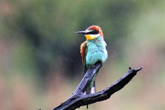 Bee-eater, Bird, Watching, Rain, Wet, Colorful