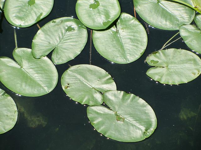Water Lily, Ammersee, Water, Lake, Waters
