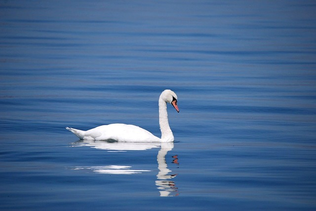 Swan, Bird, Animal, Water, Lake, White, Beautiful