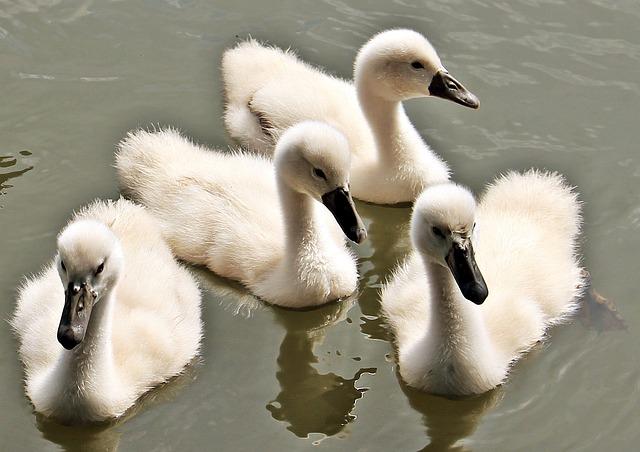 Swan, Baby Swan, Baby Swans, Water, Water Bird, Cute