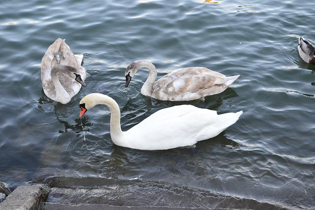 Swan, Water, Bird, Swan Lake, Bill, Black Swan