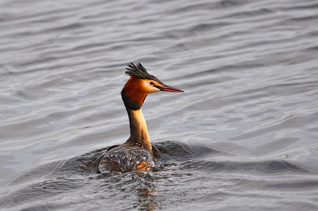 Great Crested Grebe, Grebe, Bird, Water Bird, Animal