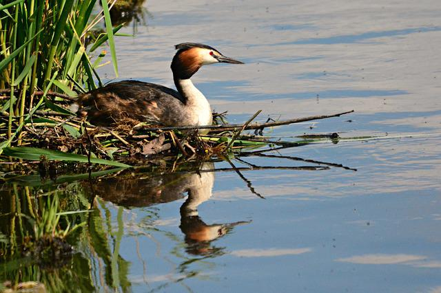 Great Crested Grebe, Water Bird, Animal, Nest, Brooding