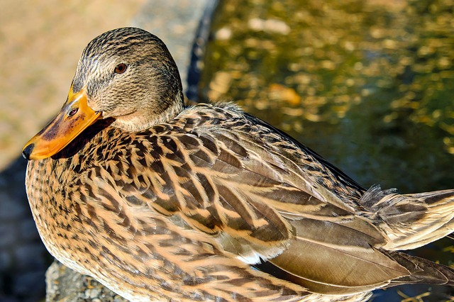 Duck, Bird, Water Bird, Animal, Poultry, Mallard