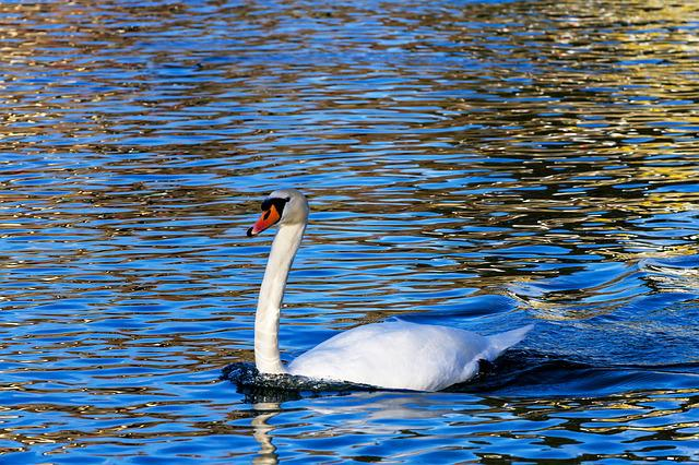 Swan, Bird, Lake, Animal World, Waters, Water Bird