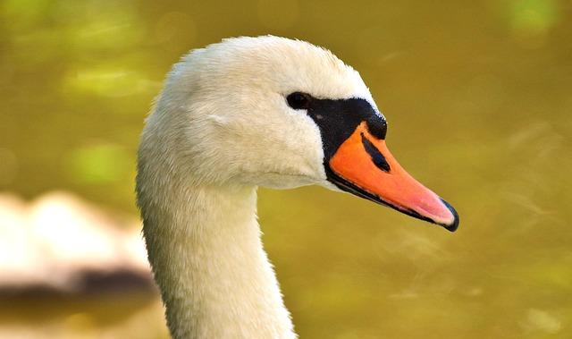 Swan, Close, Bird, Water Bird, Bill, Animal, Water